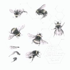 STUDY OF A BUMBLEBEE 012 - Louisa Crispin