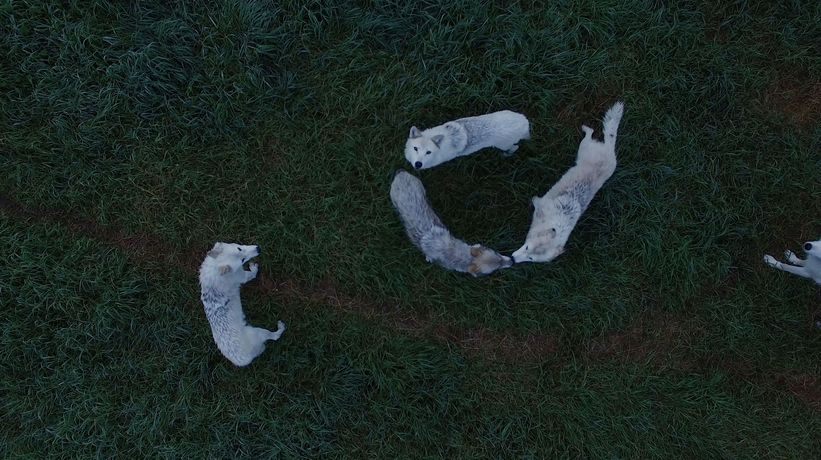 Demelza Kooij, Wolves from Above (2018). Courtesy of the artist.