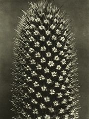 © Estate of Karl Blossfeldt