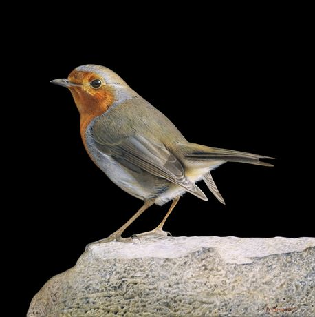 Robin on a Rock by Adrian Smart
