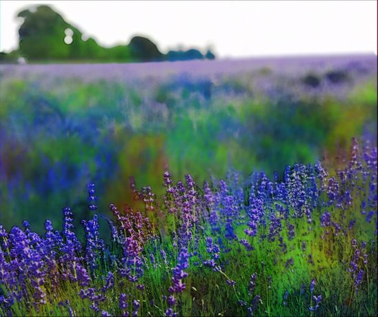Abstract Lavender Field