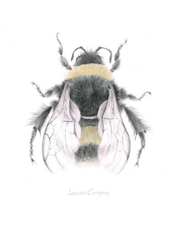 Louisa Crispin Bumble Bee