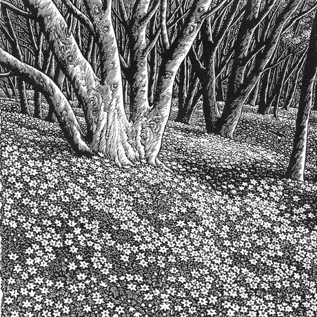 Sue Scullard, Wood Anenomes (extract)