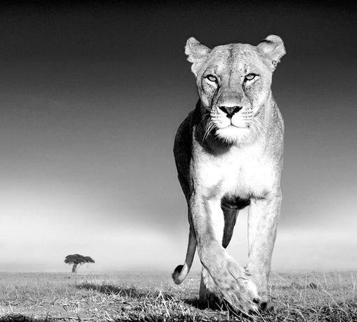 David Yarrow, Recent Encounters: Image 0