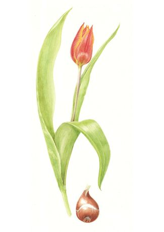 Tulip by Mary Brewin