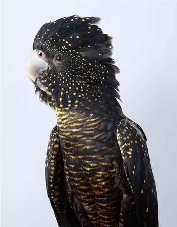 Leila Jeffreys Skye Red-tailed Black Cockatoo 2017 fine art inkjet print on cotton rag archival paper  44 x 35 (standard size) 55 x 44 (large size) Edition of 50 (standard), 6 (large size)