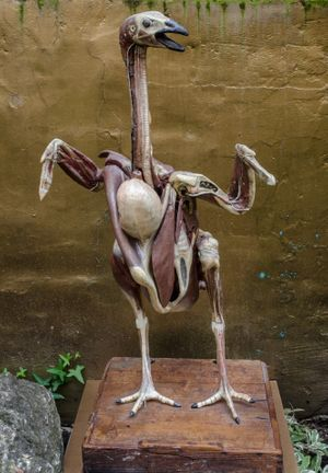 Anatomical model of a wild turkey