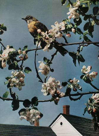 Paul Outerbridge, First Robin of Spring, c. 1938
