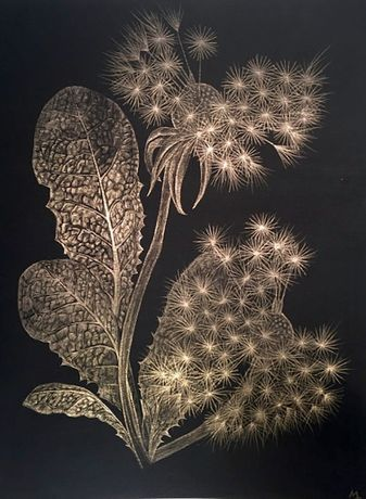 Margot Glass, Two Dandelions (A), 2018, goldpoint (14kt) on black paper, 12 x 9 inches (unframed), $1000., 14.5 x 11.75 inches (framed), $1225. (framed)