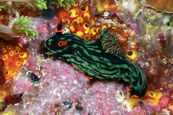 Nudibranch by Klaus Stiefel https://www.flickr.com/photos/pacificklaus/3986334600 licensed under CC BY-NC 2.0
