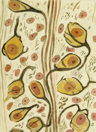 Santiago Ramón y Cajal, calyces of Held in the nucleus of the trapezoid body, 1934, ink and pencil on paper. Courtesy of Instituto Cajal (CSIC)