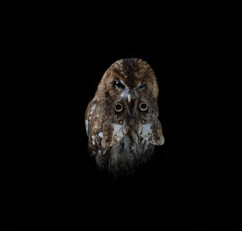 Tawny Owl with Moth
