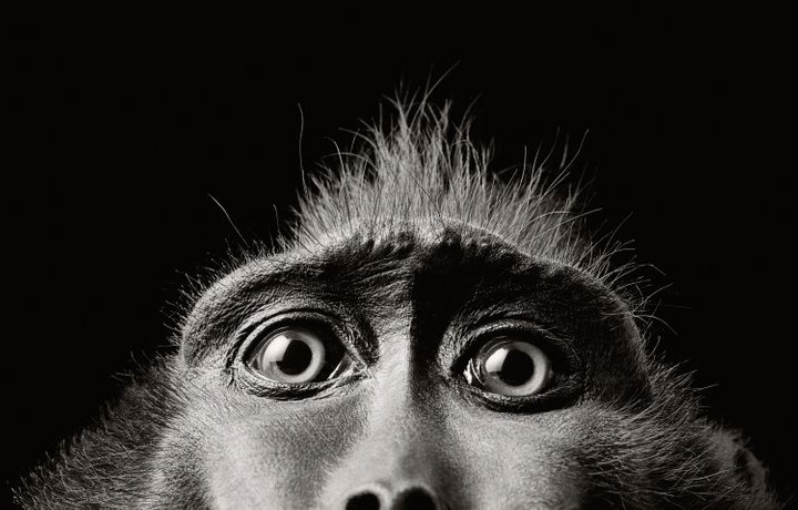 Tim Flach Monkey Eyes  2004