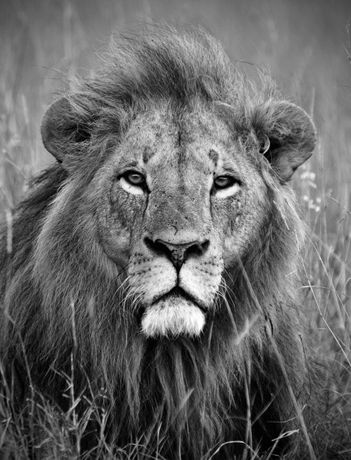 Lion copyright Levison Wood